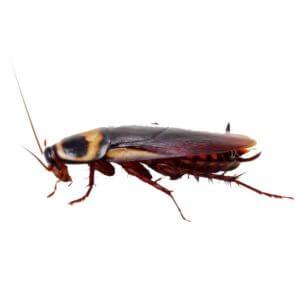 apentomosi eksolothrefsi entomon